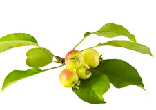 Rijpe appelen royalty-vrije stock fotografie