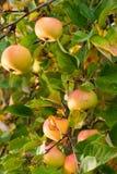 Rijpe appelen in boom Royalty-vrije Stock Foto