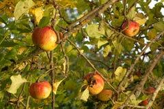 Rijpe appelen in boom Royalty-vrije Stock Fotografie