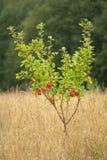 Rijpe appelen in boom Royalty-vrije Stock Afbeelding