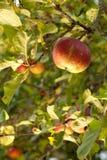 Rijpe appelen in boom Stock Afbeelding
