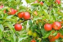 Rijpe appelen in boomgaard royalty-vrije stock foto
