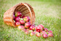Rijpe appelen in de mand en op het groene gras Royalty-vrije Stock Fotografie