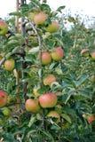Rijpe appelen in een appelboomgaard stock foto's