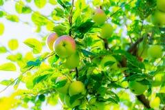 Rijpe appelen op boomtakken Rood fruit en groene bladeren boomgaard Royalty-vrije Stock Foto