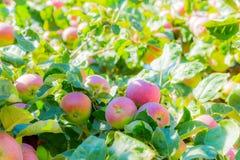 Rijpe appelen op boomtakken Rood fruit en groene bladeren boomgaard Stock Fotografie