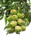 Rijpe appelen op de appelboom Stock Afbeelding