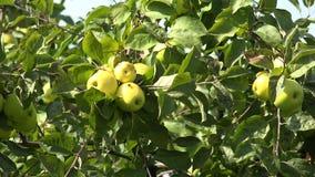 Rijpe appelen op de tak van de appelboom 4K stock footage