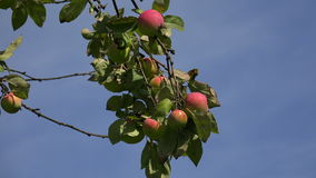 Rijpe appelen op de tak van de appelboom 4K stock video