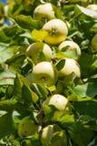 Rijpe appelen op een tak Royalty-vrije Stock Foto's