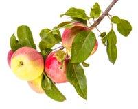 Rijpe appelen op een tak stock foto's