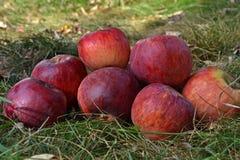Rijpe appelen op het gras Stock Fotografie