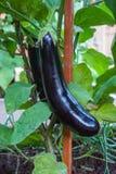 Rijpe aubergines die in de tuin groeien Royalty-vrije Stock Afbeeldingen