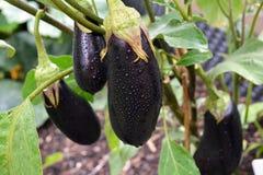 Rijpe aubergines voor het oogsten Royalty-vrije Stock Foto