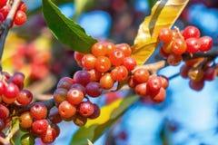 Rijpe bessen op een boom in de herfst stock afbeelding