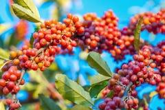 Rijpe bessen op een boom in de herfst stock fotografie