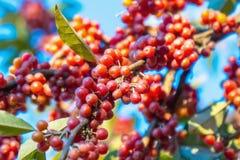 Rijpe bessen op een boom in de herfst royalty-vrije stock fotografie