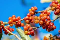 Rijpe bessen op een boom in de herfst royalty-vrije stock afbeelding