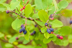 Rijpe blauwe alnifolia van de Bessenamelanchier van Saskatoon Stock Afbeeldingen