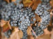 Rijpe blauwe druiven Royalty-vrije Stock Fotografie