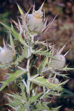 Rijpe bloem - Distelmijnbouw, Stock Foto