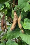 Rijpe bonen in de oogst Stock Fotografie