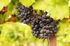 Rijpe bos van druiven Royalty-vrije Stock Afbeelding