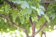 Rijpe bossen van groene druiven Royalty-vrije Stock Fotografie