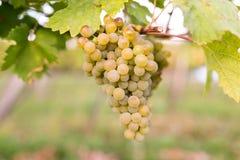 Rijpe bossen van wijndruiven op een wijnstok in warm licht royalty-vrije stock foto