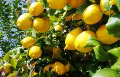 Rijpe citroenen die op tak hangen Stock Foto's