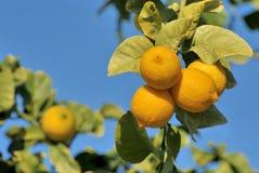 Rijpe citroenen op boom Stock Fotografie