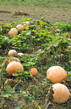 Rijpe de pompoen van de oogst. Stock Fotografie