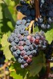 Rijpe die druiven op wijngaarden van druivenbomen worden gehangen In de ochtendwijngaard stock fotografie