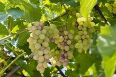 Rijpe die druiven op wijngaarden van druivenbomen worden gehangen Selectieve nadruk royalty-vrije stock afbeeldingen