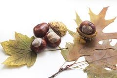 Rijpe die kastanjes en de herfstbladeren op witte achtergrond, dichte omhooggaand worden geïsoleerd Royalty-vrije Stock Foto's