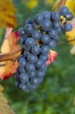 Rijpe donkerblauwe wijndruiven Stock Foto's