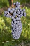 Rijpe donkerblauwe wijndruiven Royalty-vrije Stock Afbeelding