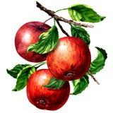 Rijpe drie rode appelen met bladeren op geïsoleerde tak, waterverfillustratie op wit vector illustratie