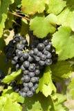 Rijpe druif vóór oogst stock foto's