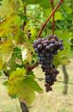 Rijpe druif in wijngaard royalty-vrije stock foto's