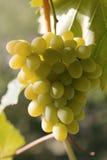 Rijpe druiven stock foto's