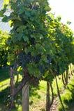 Rijpe druiven Stock Afbeeldingen