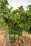 Rijpe druiven Royalty-vrije Stock Fotografie