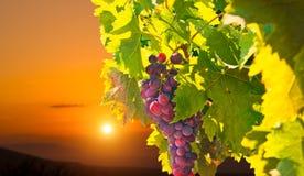 Rijpe druiven bij zonsondergang Royalty-vrije Stock Foto's