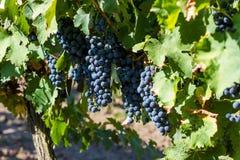 Rijpe druiven in de herfst stock foto