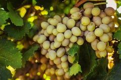 Rijpe druiven in de tuin Stock Afbeelding