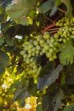 Rijpe druiven in de tuin Royalty-vrije Stock Fotografie