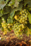 Rijpe druiven in de tuin Royalty-vrije Stock Foto