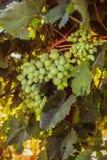 Rijpe druiven in de tuin Royalty-vrije Stock Afbeeldingen