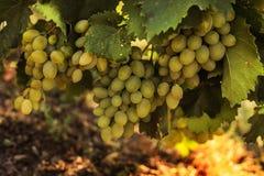 Rijpe druiven in de tuin Royalty-vrije Stock Foto's